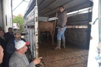 BÜYÜKBAŞ HAYVANLAR - Selendili Genç Çiftçiler Büyükbaş Hayvanlarını Teslim Aldı