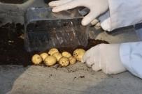 DOKU KÜLTÜRÜ - Patates Araştırma Enstitüsü Patates Hasadına Devam Ediyor