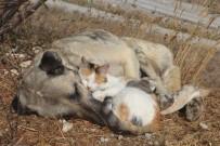 ÇOBAN KÖPEĞİ - Tokat'ta Kedi İle Köpeğin Şaşırtan Dostluğu