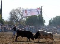 BOĞA GÜREŞİ - Aydın'da Sezonun Son Boğa Güreşleri Büyük İlgi Gördü