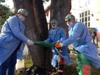 KUŞ YUVASI - Trabzon'da Anıt Ağaçları Restore Ediliyor