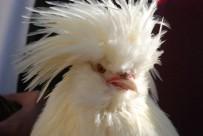 MURAT YILMAZ - Sultan Tavuğu Fiyatı Ve Görüntüsü İle Dikkat Çekiyor