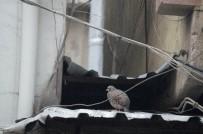 KıNALı - Esnaf Kınalı Keklik İçin Seferber Oldu