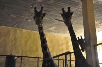 HAYVANLAR ALEMİ - Darıca Hayvanat Bahçesindeki Zürafa Ailesine 2 Yeni Üye Daha Katıldı