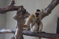 HAYVANLAR ALEMİ - Türkiye'nin İlk Beyaz Yanaklı Gibbon Çifti Darıca'da Buluştu