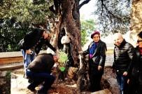 ZEYTİN AĞACI - 650 Yıllık Zeytin Ağacına Plaket Takıldı