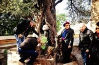 ZEYTİN AĞACI - 650 Yıllık Zeytin Ağacına Plaket