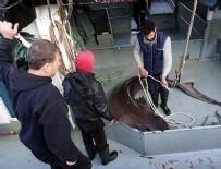 GıRGıR - Çinekopa ağ atan balıkçılar köpek balığı yakaladı