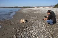 CARETTA CARETTA - Fethiye Sahiline Ölü Caretta Vurdu