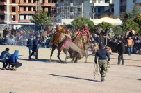 AYVALIK BELEDİYESİ - Ayvalık'ta 13. Deve Güreşi Festivali