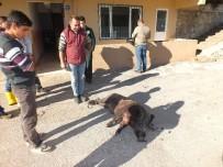 BELDIBI - Marmaris'te Yaralı Domuz İğneyle Uyutuldu