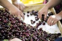 ALıŞKANLıK - Taze Kiraz Ve Üzüm Sektörü İşletme Giderlerini Düşürüyor