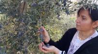 YAĞAN - Zeytin Üreticisini 'Yağmur Korkusu' Sardı