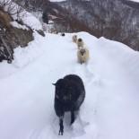 Koyunların Karda Zorlu Yolculuğu