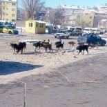 Doğubayazıt'ta Sürü Halinde Gezen Köpekler Korkutuyor