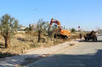 ZEYTİN AĞACI - Edremit'te Ağaçlar Kesilmiyor, Taşınıyor