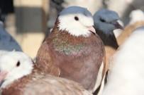 HACİZ İŞLEMİ - Haczedilen 769 Bin TL'lik Güvercinler Elde Kaldı