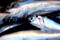 BALIK AVI - Karadenizli balıkçılar en az 2 yıllık av yasağı istiyor