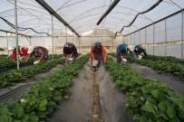 ATAYURT - Silifke'de Kış Ortasında Çilek Hasadı