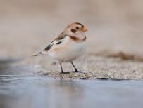 ALASKA - Alaca Çinte Kuşu 8 Yıl Aranın Ardından Yeniden Türkiye Sahillerinde