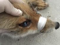 KAFKAS ÜNİVERSİTESİ - Gözleri Görmeyen Tilki Ameliyat Edildi