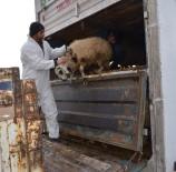 YAYLABAŞı - Osmancık'ta Genç Çiftçilere Koyun Desteği