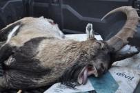 DAĞ KEÇİSİ - 7 Yaşındaki Dağ Keçisi Kaçak Avcının Kurbanı Oldu