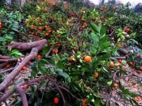 KUZUCULU - Düşük Fiyat, Mandalina Ağaçlarını Söktürdü