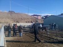 TARıM - Tuzlucada Genç Çiftçilere Büyükbaş Hayvan Dağıtımı Yapıldı