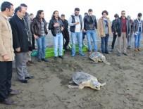 DENİZ KAPLUMBAĞALARI - Tedavi edilen 2 kaplumbağa denizle buluştu
