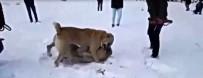 Köpekleri Dövüştürüp Videoya Aldılar