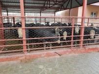 GIDA TARIM VE HAYVANCILIK BAKANLIĞI - Adilcevaz'da Genç Çiftçilere Hayvanları Dağıtıldı
