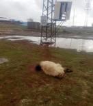 ELEKTRİK KAÇAĞI - Elektrik Akımına Kapılan Koyunlar Telef Oldu