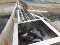 BARAJ GÖLETİ - Bu Çiftlikte Büyük Balık Küçük Balığı Yemiyor