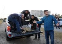 ŞAHIT - Hayvanseverlerin Seferber Olduğu Caretta Caretta Öldü