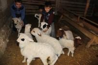 FABRIKA - Aksaray'da Koyunlar Kuzulama Dönemine Başladı