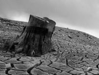 CALIFORNIA - California'da kuraklık sebebiyle milyonlarca ağaç yok oldu