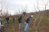 RECEP SERT - Çerkeşli Genç Çiftçiler İmece Usulu Şeftali Ağaçlarında Budama Yaptılar