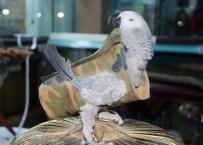 FATİH KARACA - Strese Giren Papağana Elbiseli Tedavi