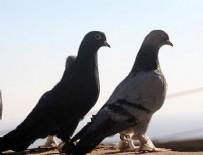 Çaldığı güvercinleri sahibine satmak isterken yakalandı