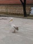 PELIKAN - Okul Bahçesine Konan Pelikan İlgi Odağı Oldu