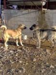 KÖPEK DÖVÜŞÜ - Köpek Dövüşü Yaptırıp Bahis Oynatıyorlar