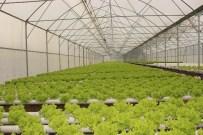 ÇARŞAMBA KAYMAKAMI - Çarşamba Ovası'nda Topraksız Tarım