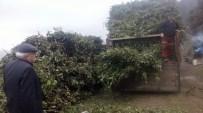 MUSTAFA ÖZ - Alaplı'da Defne Yaprağı Geçim Kaynağı Oldu