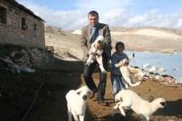 GÜN DOĞMADAN - Baharın Müjdecisi Kuzular Doğmaya Başladı