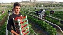 BAHÇEKÖY - Çilek Bölge Ekonomisini Canlandırdı