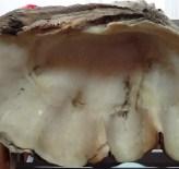MUSTAFA CAN - 1 Milyon Yıllık Tridacna Maxima Fosili Müzede