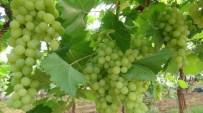 GÜNDÜZLER - Üzüm hasadı Mersin'de başladı