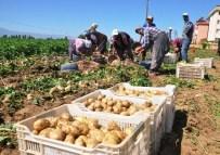 SAMI AYDıN - Ödemiş'te Yılın İlk Patates Hasadı Yapıldı