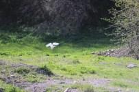SIĞIRCIK - AK Balıkçıl Kuşları Hakkari'de Görüntülendi